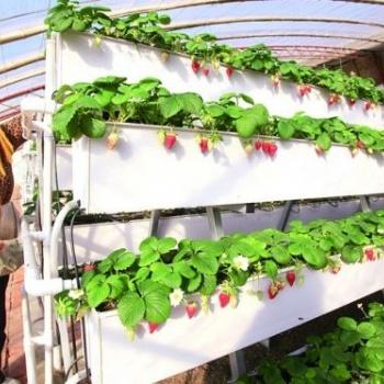 温室选用TY-56草莓架种植的采摘好处