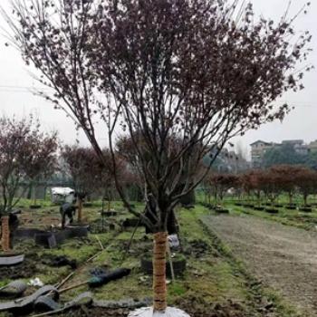 地径10公分中国红枫