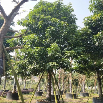 秋枫基地 园林绿化苗木 产地 大量供应
