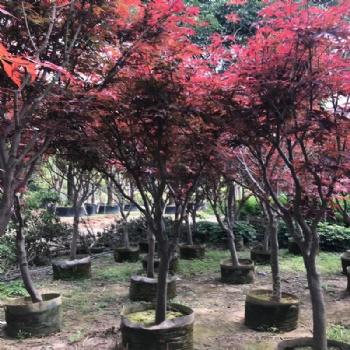 红枫庭院绿化植物 绿化苗木 产地