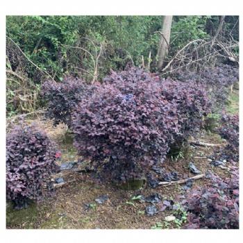 红花继木球工程绿化苗木 道路园林景观 大量供应