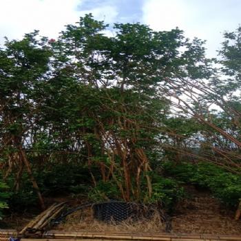紫薇四季绿化 庭院室外花卉 植物苗木风景树苗 四季常开