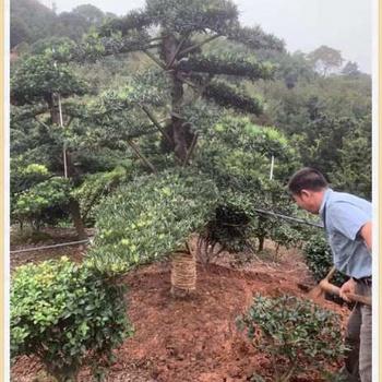 10公分的造型罗汉松-浏阳罗汉松苗木开卖啦