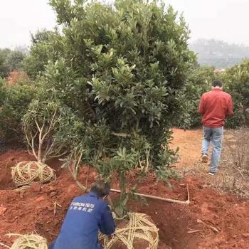 质优价廉的全冠朴树-多杆朴树苗木上思琴苗木