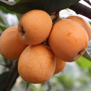 佛山市枇杷水果类供应