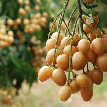 佛山市黄皮水果类供应